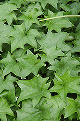 Cape Ivy (Senecio mikanioides) at Roger's Gardens