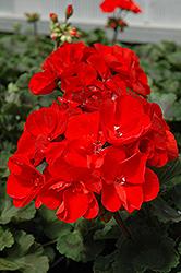 Tango Geranium (Pelargonium 'Tango') at Roger's Gardens