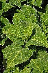 Electric Lime Coleus (Solenostemon scutellarioides 'Electric Lime') at Roger's Gardens