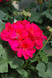 Tango Neon Pruple Geranium (Pelargonium 'Tango Neon Purple') at Roger's Gardens