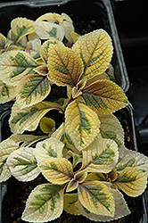 Troy's Gold Swedish Ivy (Plectranthus 'Troy's Gold') at Roger's Gardens