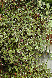 Bridal Veil Spiderwort (Tradescantia 'Bridal Veil') at Roger's Gardens