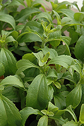 Sweetleaf (Stevia rebaudiana) at Roger's Gardens