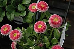 Bellisima Pink English Daisy (Bellis perennis 'Bellissima Pink') at Roger's Gardens