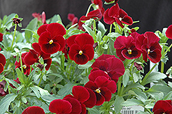 Red Selection Pansy (Viola cornuta 'Red Selection') at Roger's Gardens