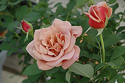 Koko Loko Rose (Rosa 'Koko Loko') at Roger's Gardens