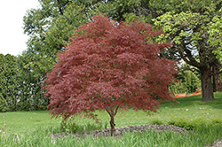 Dwarf Red Pygmy Japanese Maple (Acer palmatum 'Red Pygmy') at Roger's Gardens