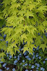 Aureum Japanese Maple (Acer palmatum 'Aureum') at Roger's Gardens