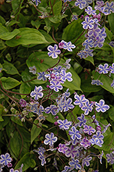 Starry Eyes Navelwort (Omphalodes cappadocica 'Starry Eyes') at Roger's Gardens