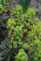 Purple Wood Spurge (Euphorbia amygdaloides 'Purpurea') at Roger's Gardens