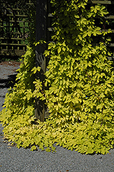 Golden Hops (Humulus lupulus 'Aureus') at Roger's Gardens
