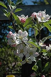 Gordon Apple (Malus 'Gordon') at Roger's Gardens