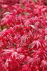 Shindeshojo Japanese Maple (Acer palmatum 'Shindeshojo') at Roger's Gardens