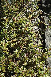 Porlock Purple Parahebe (Parahebe catarractae 'Porlock Purple') at Roger's Gardens