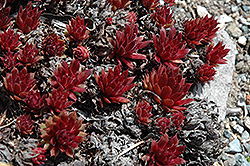 Royal Ruby Hens And Chicks (Sempervivum 'Royal Ruby') at Roger's Gardens