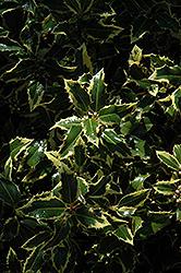 Gold Coast English Holly (Ilex aquifolium 'Monvila') at Roger's Gardens