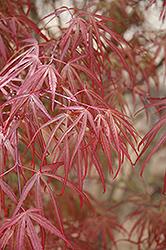 Ribbon-leaf Japanese Maple (Acer palmatum 'Atrolineare') at Roger's Gardens