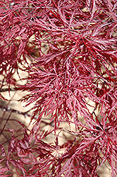Red Dragon Japanese Maple (Acer palmatum 'Red Dragon') at Roger's Gardens