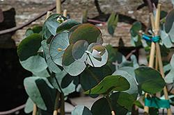 Silver Dollar Gum (Eucalyptus cinerea) at Roger's Gardens