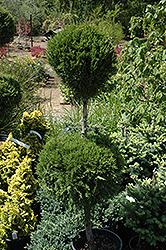 Spartan Juniper (pom pom) (Juniperus chinensis 'Spartan (pom pom)') at Roger's Gardens