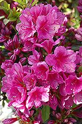 Girard's Purple Azalea (Rhododendron 'Girard's Purple') at Roger's Gardens