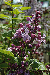 Lavender Lady Lilac (Syringa vulgaris 'Lavender Lady') at Roger's Gardens