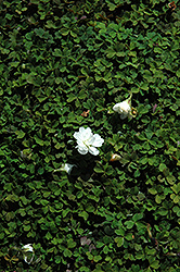 Nelson Wood Sorrel (Oxalis magellanica 'Nelson') at Roger's Gardens