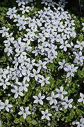Blue Star Creeper (Pratia pedunculata) at Roger's Gardens