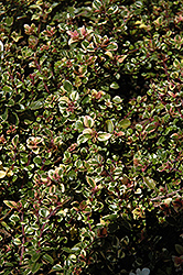 Variegated Broadleaf Thyme (Thymus pulegioides 'Foxley') at Roger's Gardens