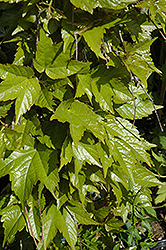 Golden Showers Boston Ivy (Parthenocissus tricuspidata 'Golden Showers') at Roger's Gardens