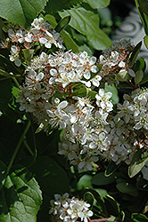 Victory Firethorn (Pyracantha koidzumii 'Victory') at Roger's Gardens