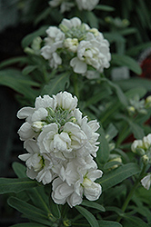 Vintage White Stock (Matthiola incana 'Vintage White') at Roger's Gardens
