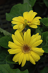 Yellow Gerbera Daisy (Gerbera 'Yellow') at Roger's Gardens