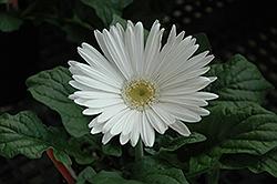 White Gerbera Daisy (Gerbera 'White') at Roger's Gardens