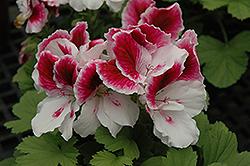 Elegance Royalty White Geranium (Pelargonium 'Elegance Royalty White') at Roger's Gardens