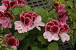 Elegance Purple Majesty Geranium (Pelargonium 'Elegance Purple Majesty') at Roger's Gardens