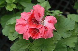 Elegance Cherry Blush Geranium (Pelargonium 'Elegance Cherry Blush') at Roger's Gardens