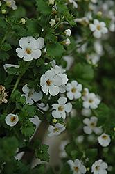 Abunda Giant White Bacopa (Sutera cordata 'Abunda Giant White') at Roger's Gardens