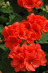 Patriot Orange Geranium (Pelargonium 'Patriot Orange') at Roger's Gardens