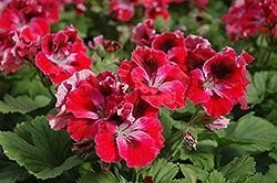 Elegance Red Velvet Geranium (Pelargonium 'Elegance Red Velvet') at Roger's Gardens