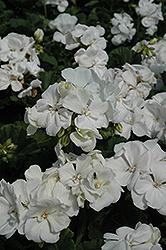 Tango White Geranium (Pelargonium 'Tango White') at Roger's Gardens