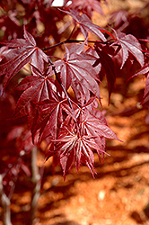 Glowing Embers Japanese Maple (Acer palmatum 'Glowing Embers') at Roger's Gardens