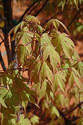 Osakazuki Japanese Maple (Acer palmatum 'Osakazuki') at Roger's Gardens