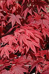 Emperor I Japanese Maple (Acer palmatum 'Wolff') at Roger's Gardens