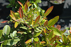 Orange Glow Scarlet Firethorn (Pyracantha coccinea 'Orange Glow') at Roger's Gardens