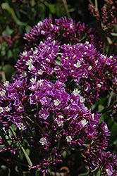 Wavy Leafed Sea Lavender (Limonium sinuatum) at Roger's Gardens