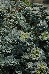 Broadleaf Stonecrop (Sedum spathulifolium) at Roger's Gardens