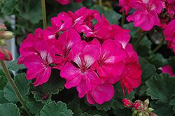 Tango Hot Pink Geranium (Pelargonium 'Tango Hot Pink') at Roger's Gardens