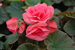 Solenia Light Pink Begonia (Begonia x hiemalis 'Solenia Light Pink') at Roger's Gardens