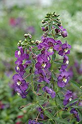 Blue Angelonia (Angelonia angustifolia 'Blue') at Roger's Gardens